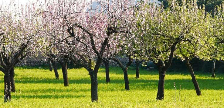 Mandelbäume in voller Blüte