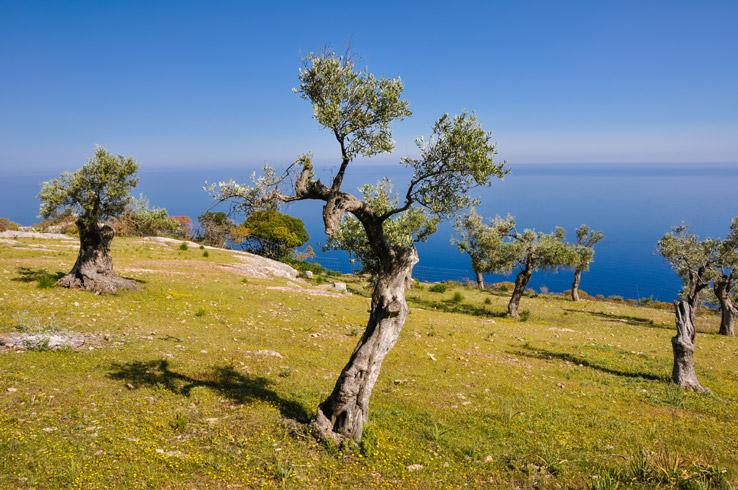 Olivenbäume mit Meerblick