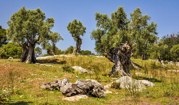 Olivenbäume in der Serra de Tramuntana