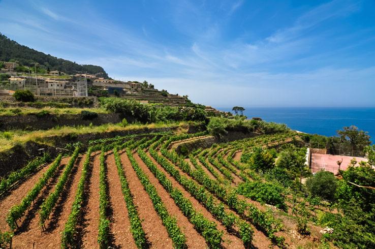 Weinanbaugebiet auf Mallorca